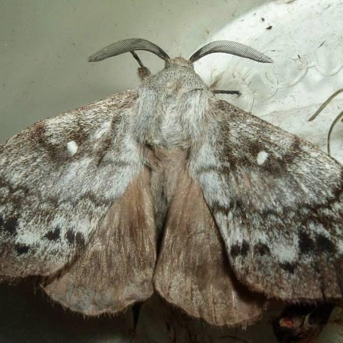 Сотрудники Россельхознадзора обнаружили очаги сибирского шелкопряда в Республике Марий Эл